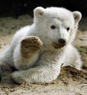 Knut verlässt Berlin - Zoo-Poker um weitere «Karriere» des Eisbären