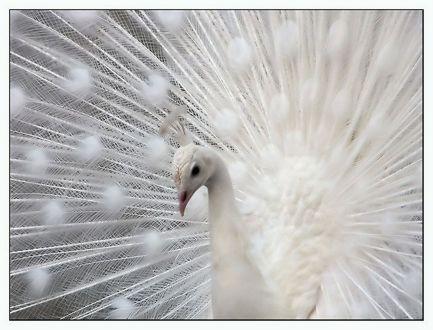 Peacock+white-02